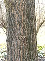 Acer truncatum bark.jpg