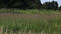 Acker-Kratzdistel Cirsium arvense 0166.jpg