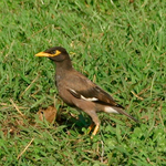 Acridotheres tristis.png