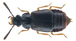 Omaliini Tribe of beetles