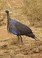 Acryllium vulturinum -Tsavo East National Park, Kenya-8.jpg