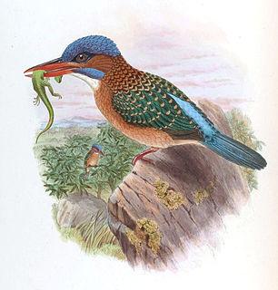 Hombrons kingfisher species of bird