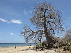 Adansonia digitata - Pemba Bay (8153284444).jpg