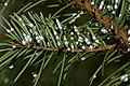 Adelges cooleyi (on spruce needles) - Flickr - S. Rae.jpg