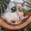 Adult cat Sphynx. img 008.jpg