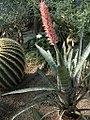 Aechmea phanerophlebia (TS) 2-006069.jpg