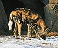 African Wild Dog (2290911778).jpg
