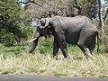 African elephant (Loxodonta africana) (25910701718).jpg