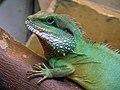 Agama blotna, wodnogama indochinska (Physignathus cocincinus) - Zoo w Warszawie 2.JPG