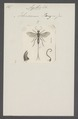 Agathis - Print - Iconographia Zoologica - Special Collections University of Amsterdam - UBAINV0274 046 08 0039.tif