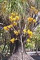 Agavaceae, Mt Coot-tha Botanic Gardens, Toowong 100 9724.jpg