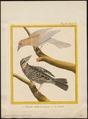 Agelaius phoeniceus - 1700-1880 - Print - Iconographia Zoologica - Special Collections University of Amsterdam - UBA01 IZ15800247.tif