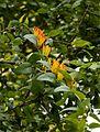 Agelanthus pungu02.jpg