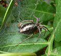 Agelenidae, Agelena labyrinthica - Flickr - gailhampshire.jpg