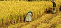 Agriculture in Bangladesh 14 1.JPG