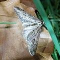 Agriopis leucophaearia 61588077.jpg