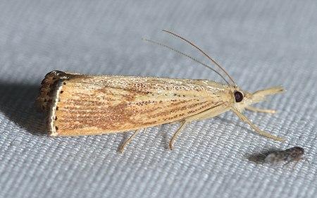 Agriphila ruricolellus