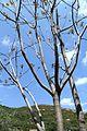 Ailanthus altissima pm02.jpg