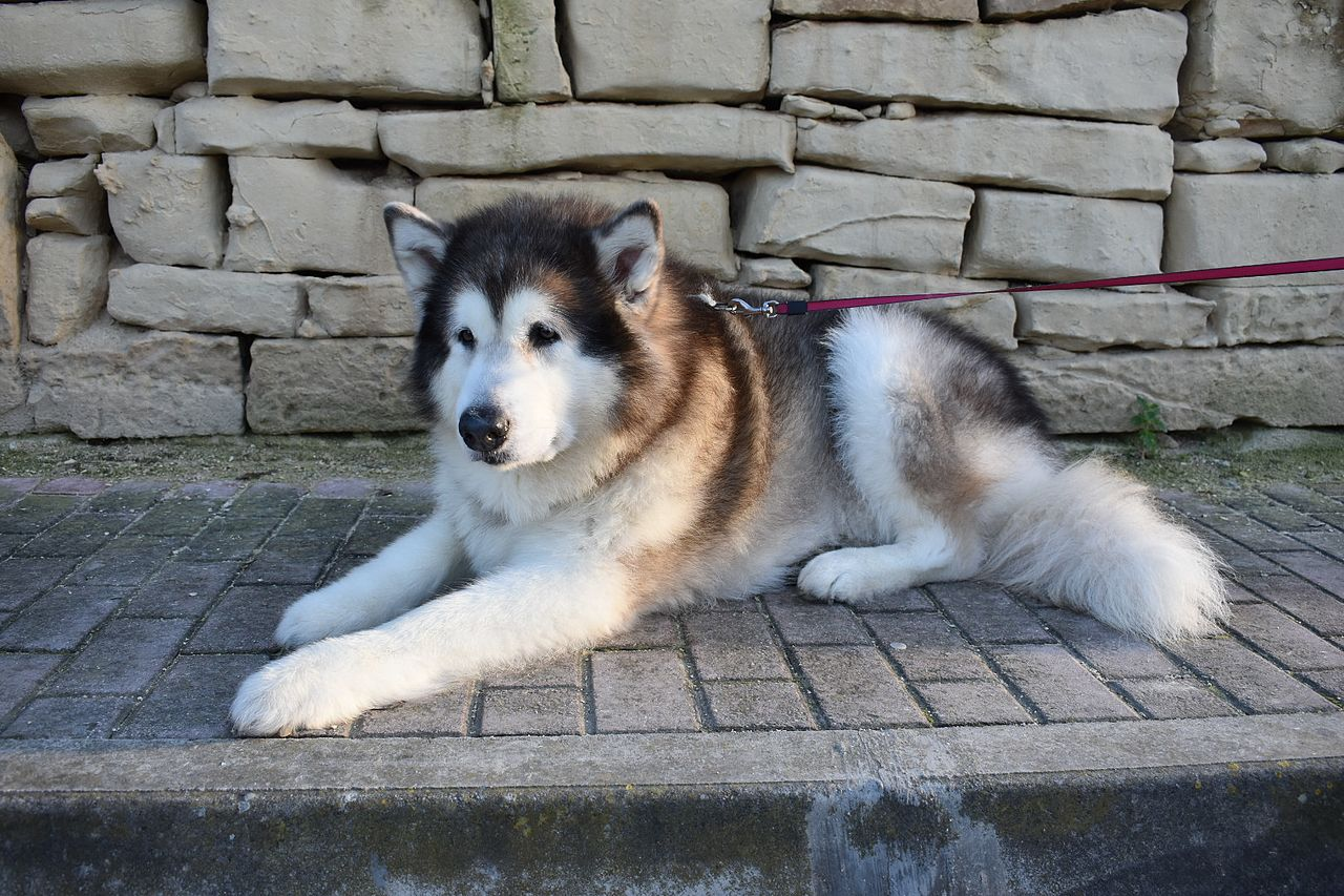 Are Alaskan Malamutes Big Dogs