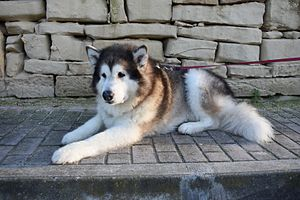 Alaskan Malamute - The male (pictured) is larger than the female