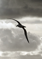 Albatross shape.png
