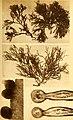 Alghe di Australia, Tasmania e Nuova Zelanda raccolte dal rev. dott. Giuseppe Capra nel 1908-1909 (1922) (17763685409).jpg