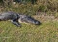Alligator in Shark Valley^ - panoramio (8).jpg