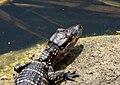 Alligator mississippiensis baby close 2.jpg