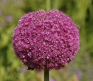 """Lucy top"" Allium"