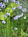 Allium Chinese blue sp - Flickr - peganum.jpg