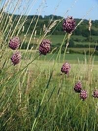 Allium rotundum 290608