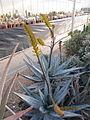 Aloe (4508467417).jpg
