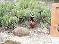 Aloe plicatilis (L.) Mill. (AM AK309110-3).jpg
