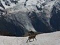 Alpine Ibex (Bouquetin) @ Lacs Noirs @ Hike to Lacs des Chéserys, Lac Blanc, Lac Cornu & Lacs Noirs @ Chamonix (15174734937).jpg