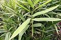 Alpinia nutans 9zz.jpg