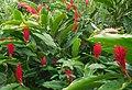 Alpinia purpurata (Zingiberaceae).jpg