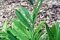 Alpinia speciosa 5zz.jpg