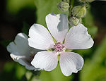 Althaea officinalis - flower top (aka).jpg