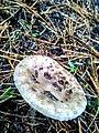 Amanita porphyria 95828864.jpg