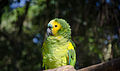 Amazona aestiva -captive-8a (2).jpg