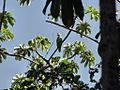 Amazona amazonica -Trinidad-8.jpg