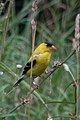 American Goldfinch (Spinus tristis), Male - Guelph, Ontario 01.jpg