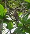 American Kestrel.Falco sparverius - Flickr - gailhampshire (1).jpg