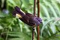 American Redstart (Setophaga ruticilla) (8082131290).jpg