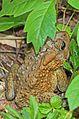 American Toad - Bufo americanus, Leesylvania State Park, Woodbridge, Virginia.jpg