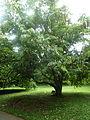 Amherstia nobilis Jardin botanique de Peradeniya Kandy.JPG