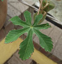 Amoreuxia gonzalezii leaf