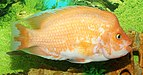 Amphilophus citrinellus 2015 G1.jpg