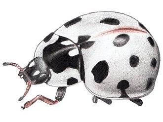 Coccinellinae - Anatis labiculata