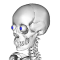 Anatomography skull and eyeball.png